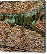 Iguana With A Smile Canvas Print