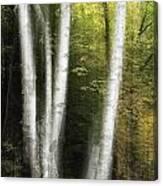 Illuminated Birch Canvas Print