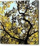 Illuminated Oak Tree Canvas Print