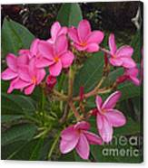 Immaculate Pink Plumerias Canvas Print