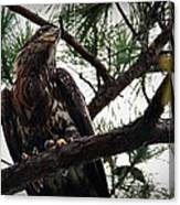 Immature American Bald Eagle Canvas Print