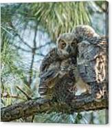 Immature Great Horned Owls Canvas Print