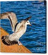 Immature Herring Gull At The Harbour Canvas Print