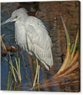 Immature Little Blue Heron Canvas Print