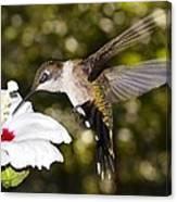 Immature Ruby-throated Hummingbird Canvas Print