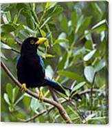 Immature Yucatan Jay Canvas Print