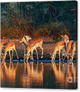 Impala Herd With Reflections In Water Canvas Print