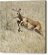 Impala Leaping Through Savanna Canvas Print