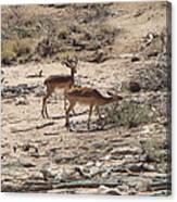 Impala Near Red River Canvas Print