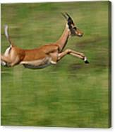 Impala  Running And Leaping Canvas Print