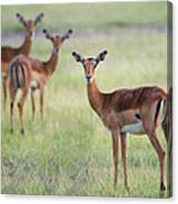 Impalas Aepyceros Melampus Petersi Canvas Print