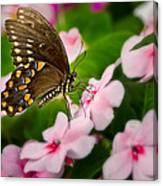 Impatient Swallowtail Canvas Print