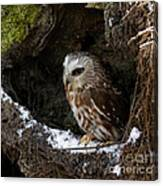 In Hiding Saw Whet Owl In A Hollow Stump Is Part Of The Birds Of Prey Fine Art Raptor Wildlife Photo Canvas Print