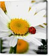 In Love With A Ladybug And A Daisy Canvas Print