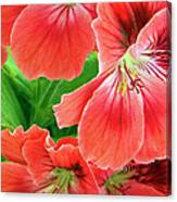 In The Garden. Geranium Canvas Print