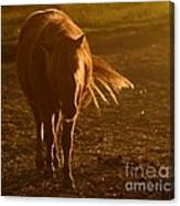In The Golden Light Canvas Print