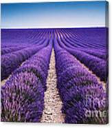 In The Lavender Canvas Print