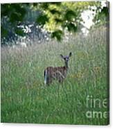 White-tailed Deer In Meadow  Canvas Print