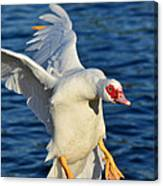 Incoming Muscovy Canvas Print