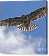 Incomming Redtail. Canvas Print