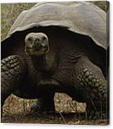 Indefatigable Island Tortoise Galapagos Canvas Print