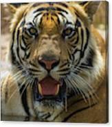 India Male Bengal Tiger (pantera Tigris Canvas Print