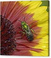 Indian Blanket And Bee Canvas Print