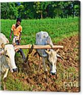 Indian Farmer Plowing With Bulls Canvas Print