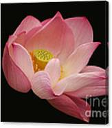Indian Lotus On Black --- Sacred Light Canvas Print