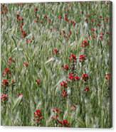 Indian Paintbrush And Foxtail Barley Canvas Print