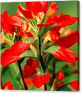 Indian Paintbrush I I Canvas Print