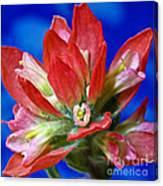 Indian Paintbrush Canvas Print