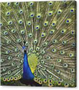 Indian Peafowl Male Displaying Canvas Print