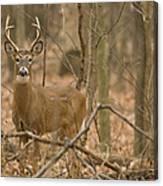 Indiana Buck  Canvas Print