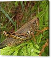 Indiana Grasshopper Canvas Print