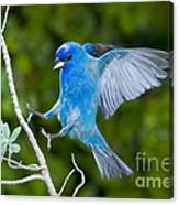 Indigo Bunting Alighting Canvas Print