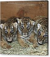 Indochinese Tiger Cubs In Sleeping Box Canvas Print
