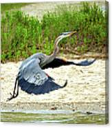 Inflight Great Blue Heron Canvas Print
