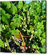 Inglenook Vineyard -10 Canvas Print