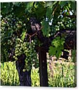 Inglenook Vineyard -11 Canvas Print