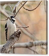 Inquisitive Woodpecker Canvas Print
