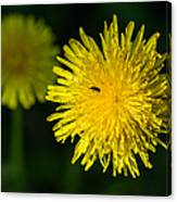 Insects On A Dandelion Flower - Featured 3 Canvas Print