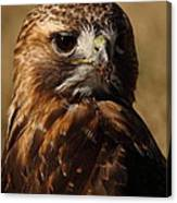 Red Tailed Hawk Portrait Canvas Print