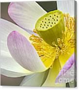 Intimate Sacred Lotus Bloom Canvas Print