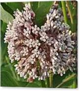 Into The Heart Of A Milkweed Flower Canvas Print