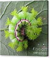 Io Caterpillar Canvas Print