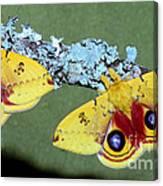 Io Moth Automeris Io Adult Males Canvas Print
