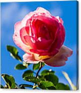 iPhone Case - Pink Rose Canvas Print