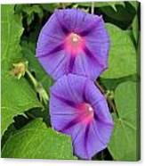 Ipomea Acuminata Morning Glory Canvas Print