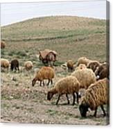 Iran Sheep Canvas Print